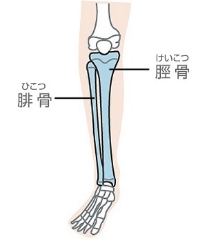 腓骨と脛骨.jpg